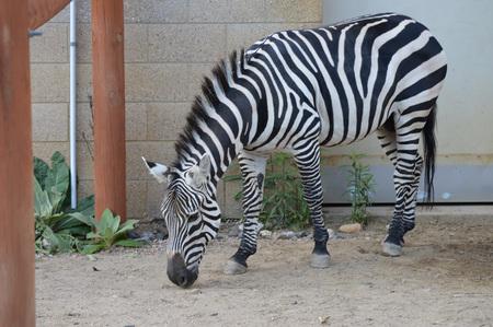 Zebra Stock Photo - 79995471