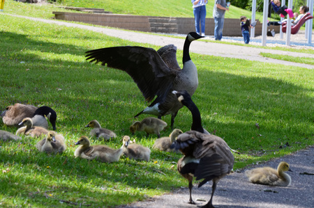 Geese in the park 写真素材