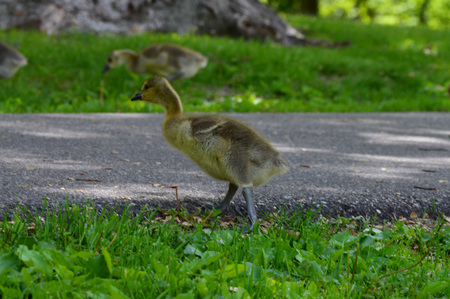Geese in the park Stock Photo