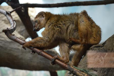 Lemur Stok Fotoğraf