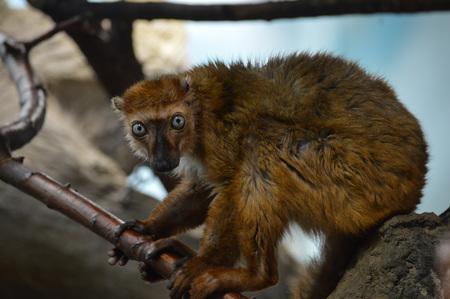 Lemur Kiwi