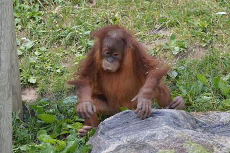Orangutan Borneo Island Banco de Imagens