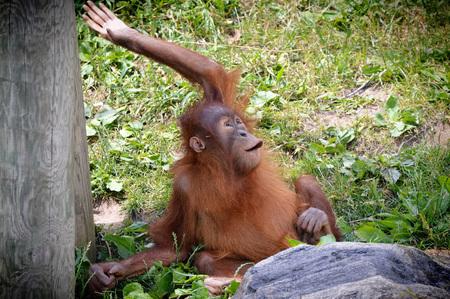 Orangutan Borneo Island 写真素材