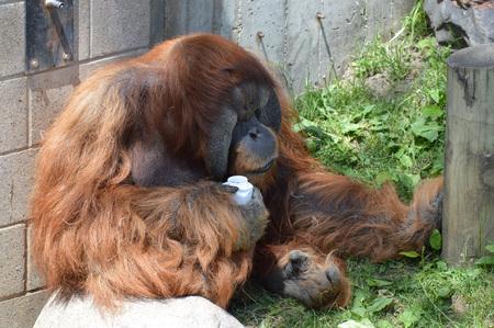 Orangutan 写真素材 - 95015124