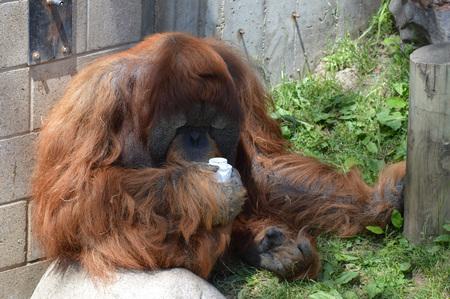 Orangutan 写真素材 - 95015135