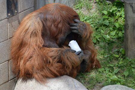 Orangutan 写真素材 - 95015149