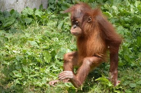Orangutan Borneo Island Imagens - 95148255