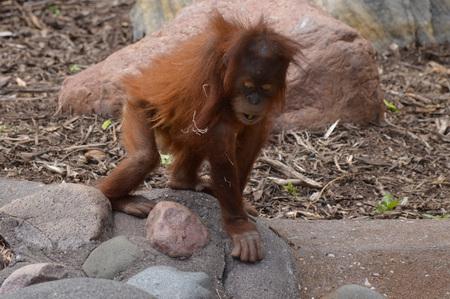 Orangutan Borneo Island Imagens - 95148259