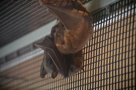 Bat sleeping in its cage