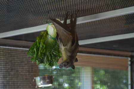 Bat next to its food Banco de Imagens - 94467083
