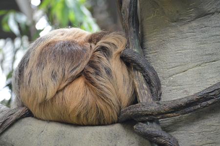 Sloth Stok Fotoğraf