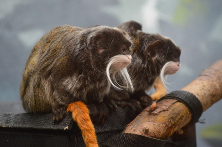 close up eyes: Emperor Tamarins Stock Photo