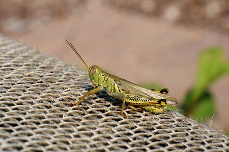 net: Grasshopper on top of net. Stock Photo