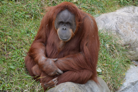 Orangutan background.