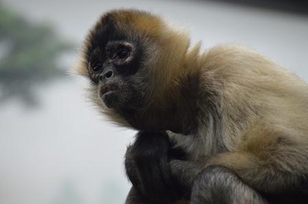 Spider Monkey Фото со стока
