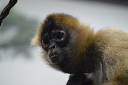 Spider Monkey Stock Photo