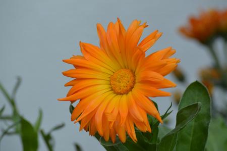 Mum flower