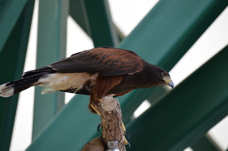 Harris hawk on the branch