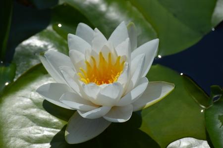 Water lily Archivio Fotografico