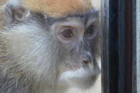 Patas monkey Stock Photo
