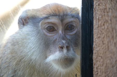 Patas monkey Archivio Fotografico