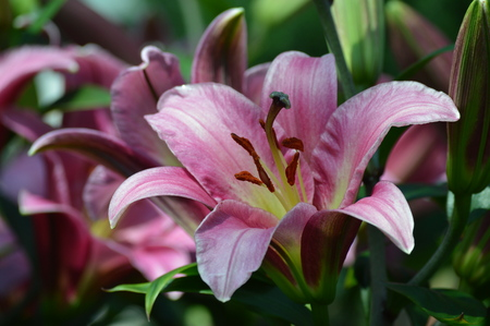 Lily flower Imagens