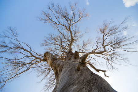 large tree: A large dead tree against the blue sky. Stock Photo