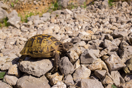 land turtle: Land turtle crawling on rocks in natural conditions.
