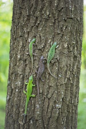 viviparous: Lizard in nature sitting on a tree. Stock Photo