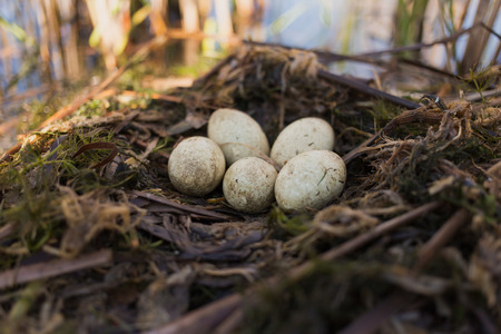 nature conservancy: Birds nest in its natural habitat in the spring season.