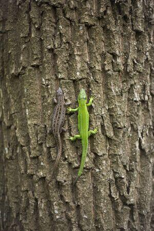 viviparous: Lizard in nature sitting on a tree. Stock Photo