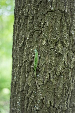animal viviparous: Lizard in nature sitting on a tree. Stock Photo