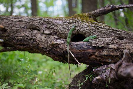 viviparous lizard: Lizard in nature sitting on a tree. Stock Photo