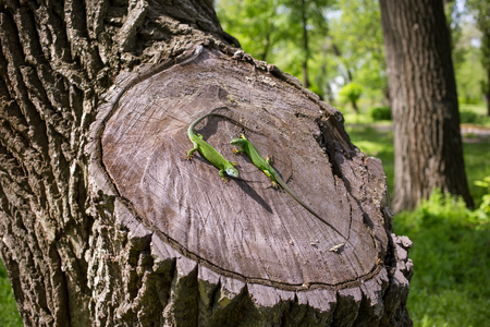 viviparous lizard: Green lizard in the wild in the mating season. Stock Photo