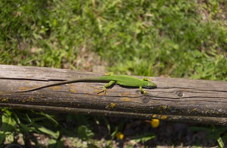 viviparous: Green lizard in the wild in the mating season. Stock Photo