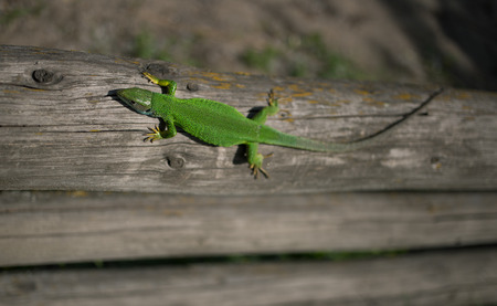 viviparous lizard: Green lizard in the wild in the mating season. Stock Photo