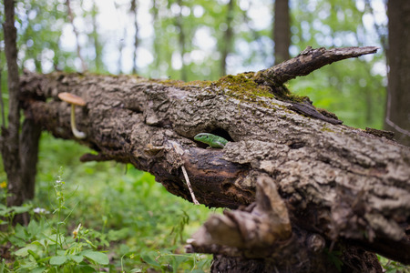 coldblooded: Green lizard in the wild in the mating season. Stock Photo