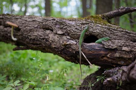 animal viviparous: Green lizard in the wild in the mating season. Stock Photo
