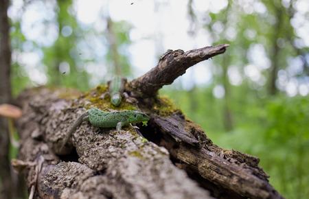 viviparous lizard: Green lizard in the wild. Stock Photo