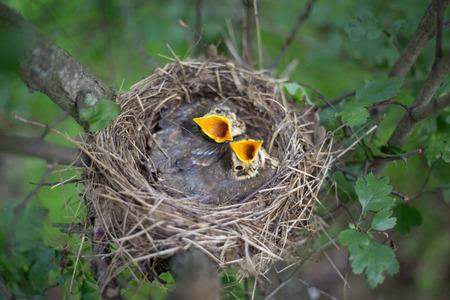 birdwatcher: Life nest with chicks in the wild.