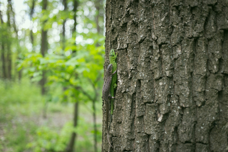 viviparous: Green lizard in the wild. Stock Photo