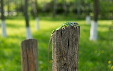viviparous: Green lizard in the wild. Stock Photo