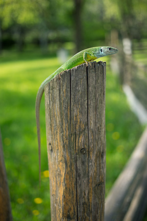 animal viviparous: Green lizard in the wild. Stock Photo