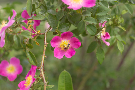 wild rose: Blooming wild rose under natural conditions.
