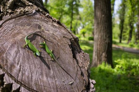 animal viviparous: Green lizard in the wild sitting on a tree.