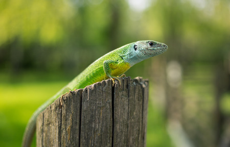 viviparous: Green lizard in the wild sitting on a tree.