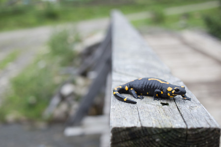 newt: Beautiful salamander in a bright color in natural conditions in the summer.