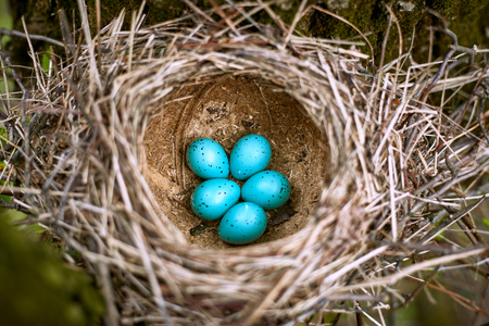 Nest with eggs in the wild in the spring. Stock Photo