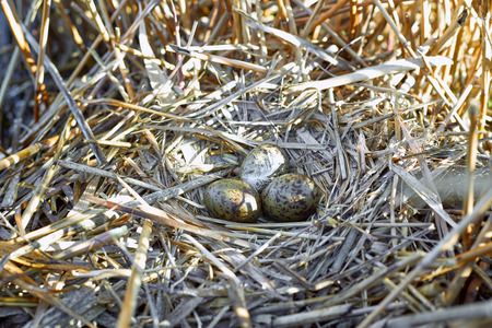 incubation: Nest on the water with eggs during the breeding season in the spring. Stock Photo
