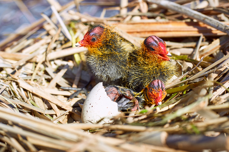 Nest on the water with chicks in the wild.